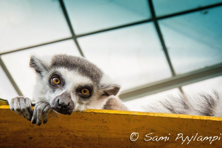 Lemur from Budapest Zoo, Hungary