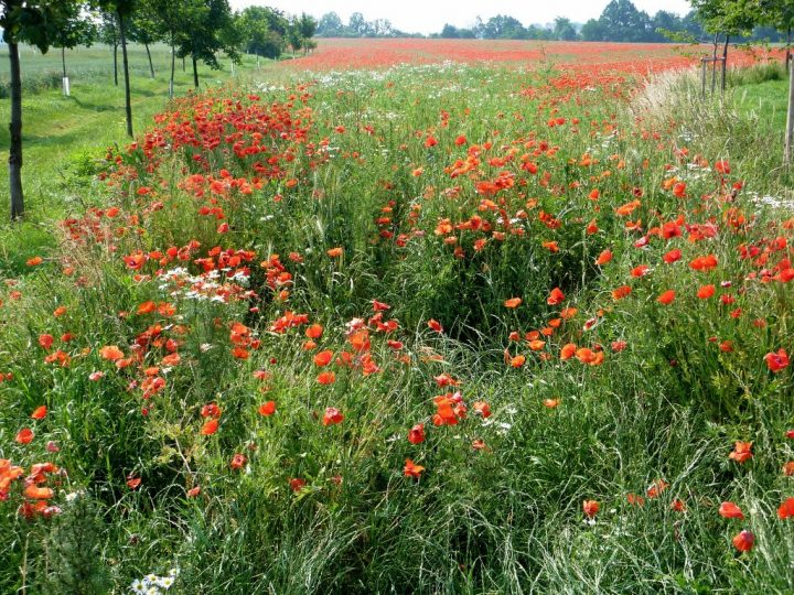A meadow full of red poppy and other flowers in Prague - Kolovraty