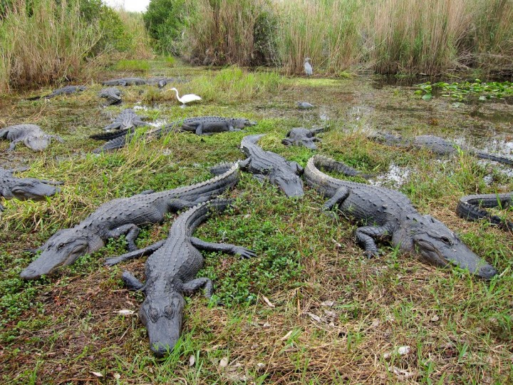 American alligators, Everglades National Park, US National Parks