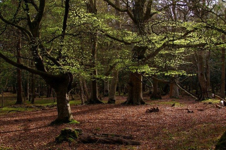 Beech Forest in New Forest National Park, England, National Parks in the UK