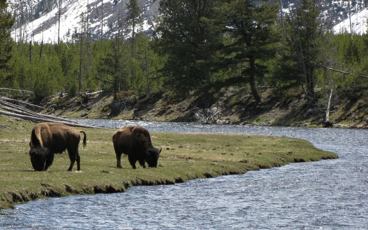 Bison in Yellowstone National Park, USA