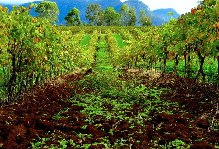 A Hunter Valley vineyard, Australia