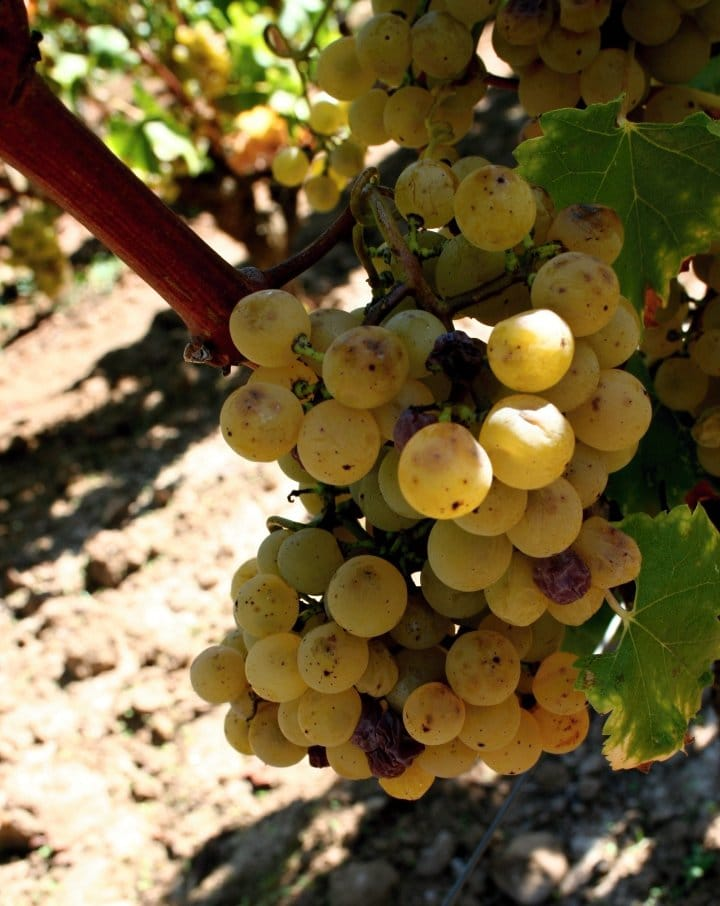 Semillon wine grape