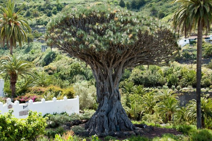 Dragon Tree, Things to do in Tenerife