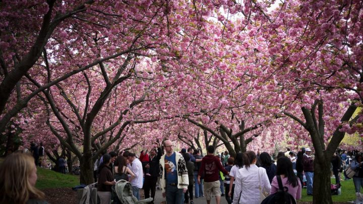 Sakura Matsuri, Cherry Blossom Festival, Brooklyn Botanic Garden, Things to do in NYC, USA
